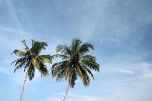 two tropical coconut palms