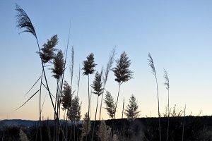 Landscape with reeds