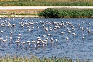 Flamingos eating in the lagoon