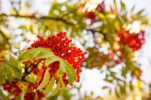 Rowan berries, Mountain ash
