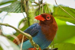 Sri Lankan endemic bird