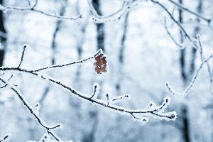 Frozen oak leaf on snow covered tree