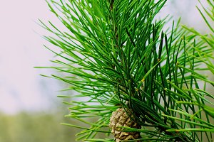 Fir Branch With Pine Cone