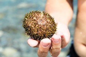 sea urchin in hand of man