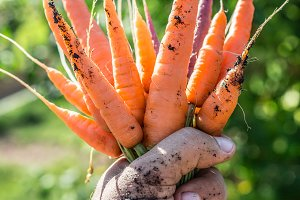 Carrots in man's hand.