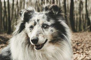 Dog: Shetland Sheepdog
