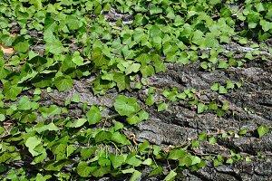 Ivy Plant Tree Trunk