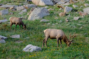 Mountainside Elk