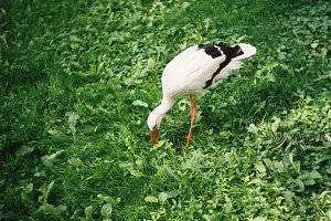 A stork on green grass