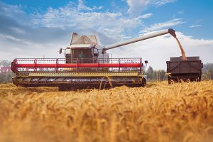 Combine-harvester pours wheat grain to trucks.