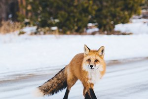 Mountain Fox - Vertical