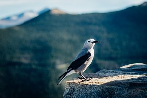 Bird with Mountain Background