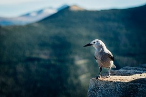 Bird with Mountain Background