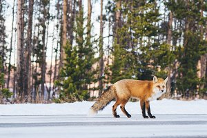 Fox on Snowy Mountain Road