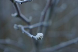 frosted branch