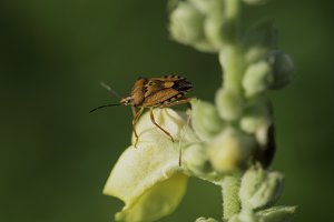 Red shield bug on green Plant