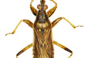 Grey Damsel Bug