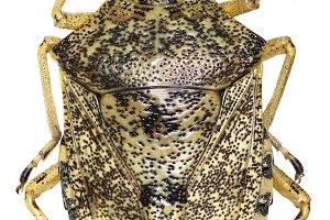 Mottled shield bug