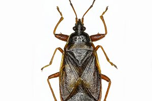 Spruce  Cone Bug