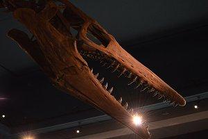 Plesiosaur Skull Fossil