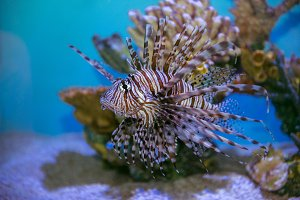 Lion fish under water