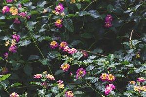 Lantana flowers pattern