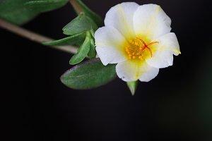 Macro of white portulaca flower