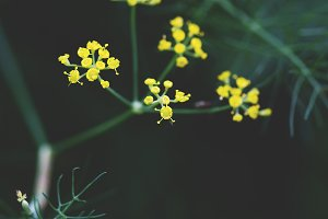 Wild fennel flower macro