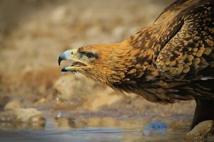 Tawny Eagle - Drink of Life