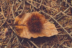 Chestnut in Autumn leaves background