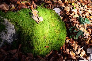 Rock Moss covered in Autumn Leaves