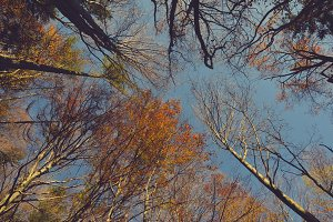 Looking up the Trees in Autumn
