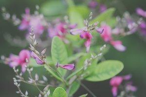 Desmodium Flowers