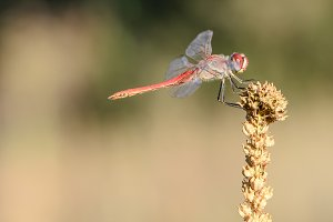 Red dragonfly on dry landlord