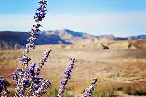 Lavender Desert
