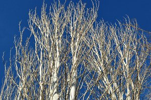 Poplars without leaves