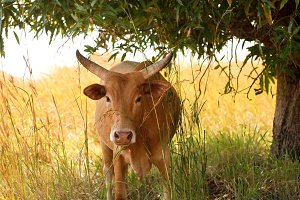 Cow in the Weeds