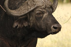 Flies on a Cape Buffalo