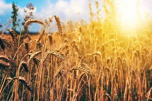 Wheat field rural nature scenery