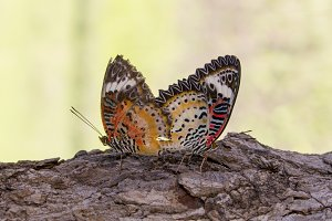 Image of two butterflies.