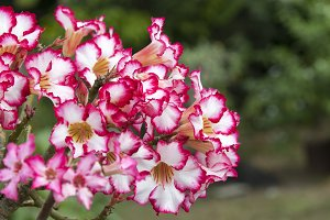 Pink azalea flowers.
