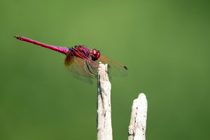 Image of red dragonfly.