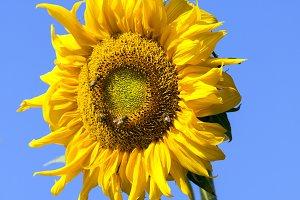 mage of sunflower.