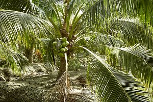 Sweet Coconut tree