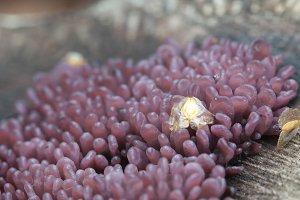 Ascocoryne sarcoides mushrooms