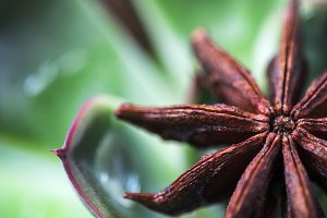 succulent with anise