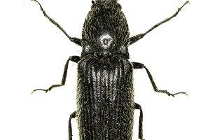 ClickBeetle Hemicrepidius