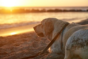 Lonely labrador dog