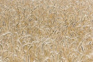 field with ripe gold ripe wheat