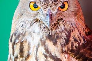 Eagle Owl+